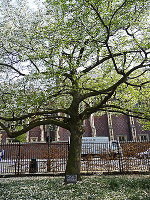 English: Coronation Tree, Lincoln's Inn Fields...