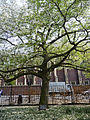 Coronation Tree, Lincoln's Inn Fields.jpeg