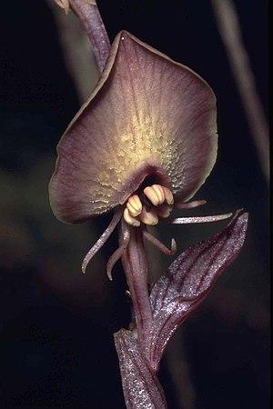Corsiaceae - Corsia ornata, Bird's Head Peninsula, Indonesia