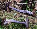Cortinarius kioloensis Wood 330424.jpg
