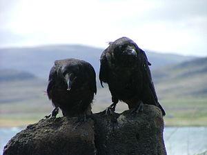 Raven - Common ravens