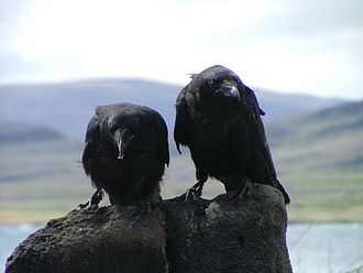 Common raven - Two juveniles in Iceland
