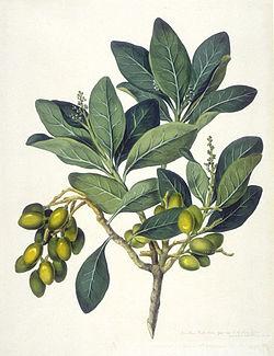Corynocarpuslaevigatus.jpg