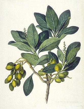 Karaka (tree) - Illustration by John Frederick Miller