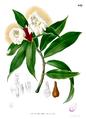 Costus speciosus Blanco2.442.png