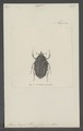 Cotinis - Print - Iconographia Zoologica - Special Collections University of Amsterdam - UBAINV0274 022 03 0003.tif
