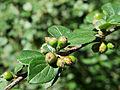Cotoneaster dielsianus Kiev2.JPG