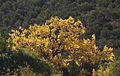 Cottonwood (4002385339).jpg