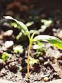 Cotyledons Acer heldreichii Orph. ex Boiss. ssp. heldreichii.JPG