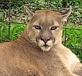 Cougar up close (3913725640).jpg