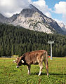 Cow and mountain in Austria.jpg
