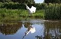 Crane Dance 7 - panoramio.jpg