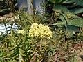 Crassula mollis 2017-05-31 2055.jpg