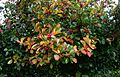 Crataegus x persimilis Prunifolia - Flickr - peganum.jpg
