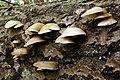 Crepidotus mollis 121007w.JPG