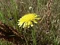 Crepis foetida inflorescence (12).jpg