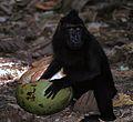 Crested Macaque Macaca nigra (7911419924).jpg