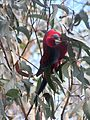 Crimson rosella eating.jpg