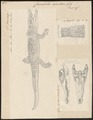 Crocodilus acutus - 1700-1880 - Print - Iconographia Zoologica - Special Collections University of Amsterdam - UBA01 IZ12200066.tif
