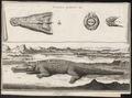 Crocodilus galeatus - skeletdelen - - Print - Iconographia Zoologica - Special Collections University of Amsterdam - UBA01 IZ12200093.tif