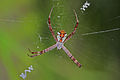Cross Orb Spider (Argiope perforata) (6748009401).jpg