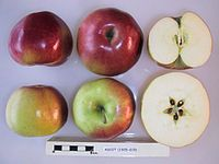 Cross section of Ascot, National Fruit Collection (acc. 1925-015).jpg