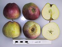 Cross section of Carrey, National Fruit Collection (acc. 1949-142).jpg