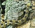 Crotalus horridus (4).jpg