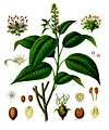 Croton tiglium - Köhler–s Medizinal-Pflanzen-197.jpg