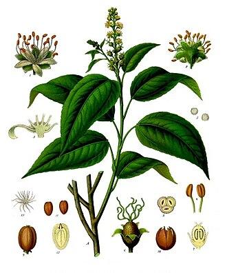 Croton (plant) - Croton tiglium