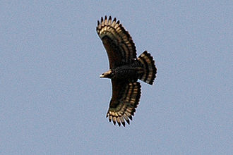 Crowned eagle - A crowned eagle flying over its territory in Budongo, western Uganda