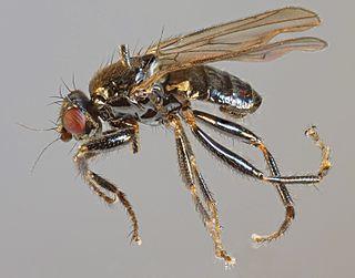 <i>Crumomyia fimetaria</i> species of insect