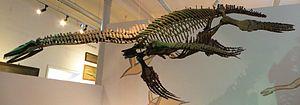 Cryptoclidus - Cast of a fossil skeleton, University of Tübingen