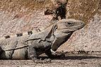 Ctenosaura similis Uxmal.jpg