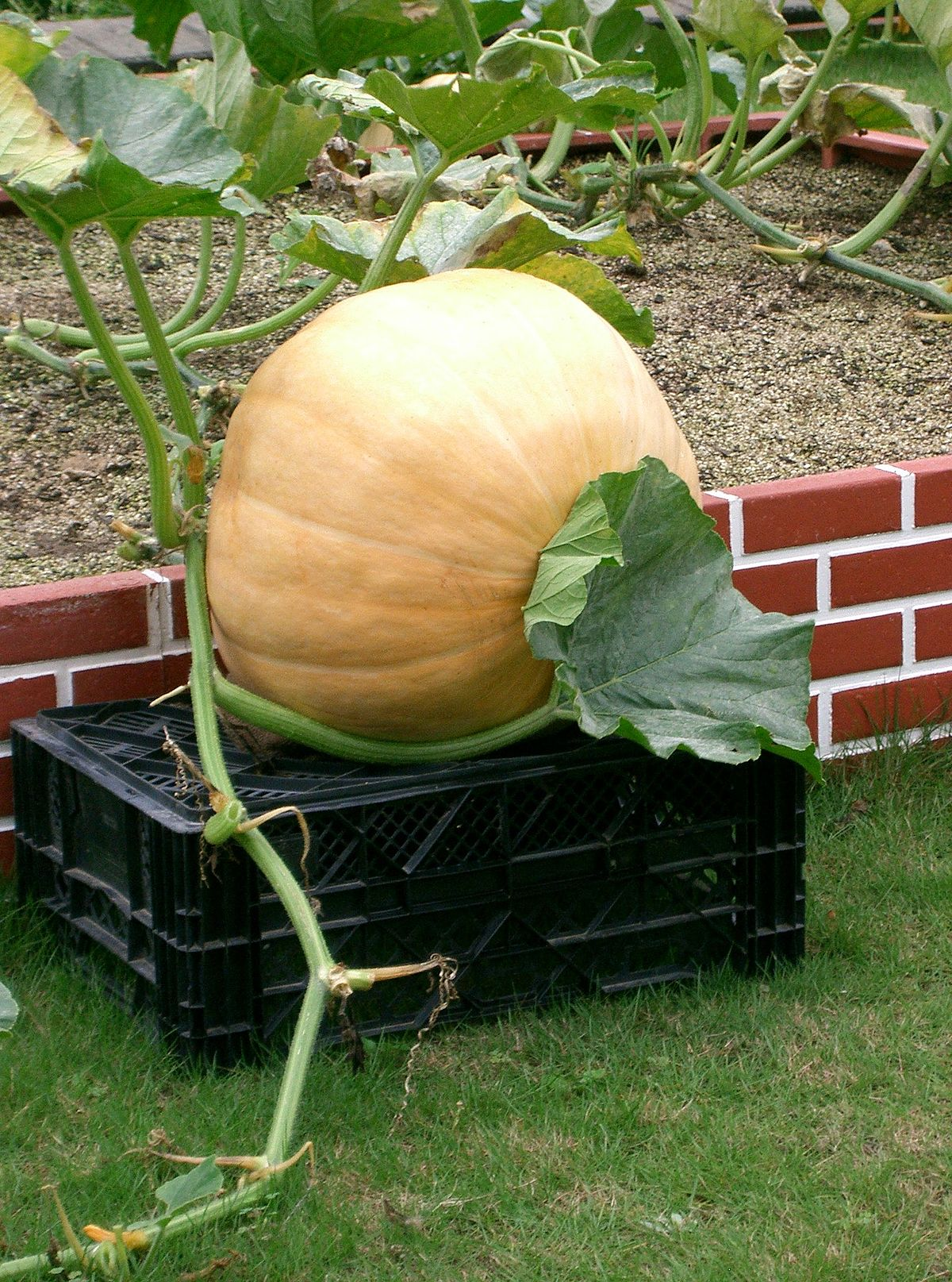 list of gourds and squashes wikipedia