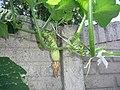 Cucurbita moschata (zapallo espontáneo) flor fruto femenina F04 dia03 orientación pétalos marchitándose inserción ovario en pedúnculo.JPG
