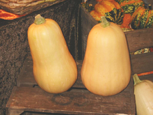 Squash, winter, butternut