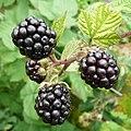 Cultivated Blackberry, Rubus fruticosus - geograph.org.uk - 1426305.jpg