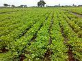 Cultivation of peanut crop in Junagadh region of Western India.jpg