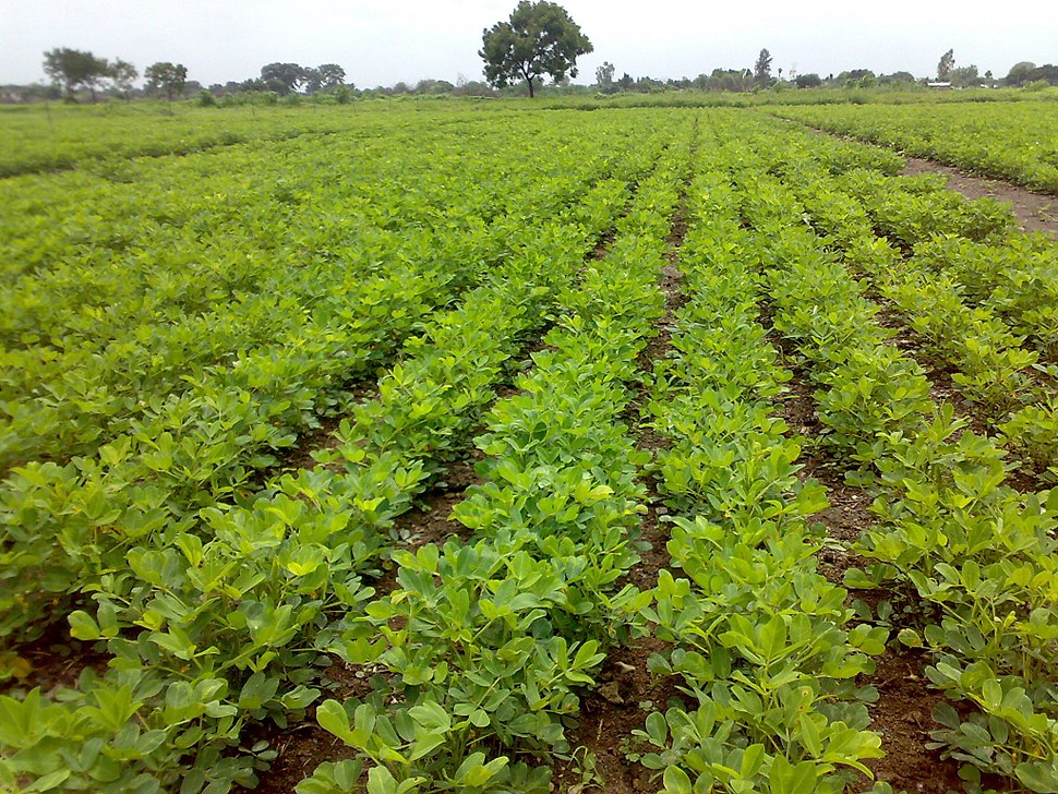 Cultivation of peanut crop in Junagadh region of Western India