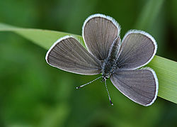 Cupido minimus - Small Blue - Minik Kupid.jpg