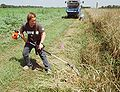 Cutting Thinopyrum intermedium plants with a hedge trimmer.JPG