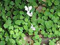 Cyclamen hederifolium album ^ Fuchsia procumbens - Flickr - peganum.jpg