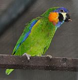 A green parrot with blue-edged wings and orange cheeks