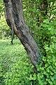 Cydonia oblonga kz02.jpg