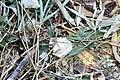 Cygnus olor (Küken) - Arboretum 2011-05-28 18-18-34.jpg