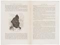 Cynocephalus niger - 1700-1880 - Print - Iconographia Zoologica - Special Collections University of Amsterdam - UBA01 IZ20100064.tif