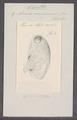 Cynthia microcosmus - - Print - Iconographia Zoologica - Special Collections University of Amsterdam - UBAINV0274 092 01 0041.tif