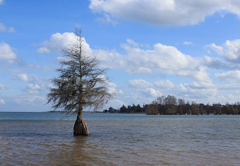 File:Cypress tree - Lake Marion - Indian Bluff Park - Eutawville, SC, USA.jpg