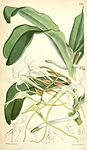 Cyrtorchis chailluana (as Angraecum chailluanum) - Curtis' 92 (Ser. 3 no. 22) pl. 5589 (1866).jpg